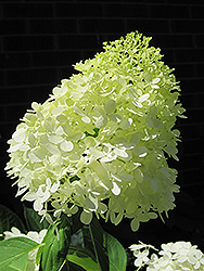 Limelight Hydrangea (Hydrangea paniculata 'Limelight') at Gardens To Go