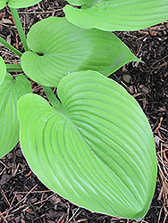 Sum and Substance Hosta (Hosta 'Sum and Substance') at Gardens To Go