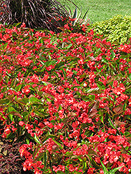 Dragon Wing Red Begonia (Begonia 'Dragon Wing Red') at Gardens To Go