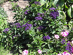 Fragrant Delight Heliotrope (Heliotropium arborescens 'Fragrant Delight') at Gardens To Go