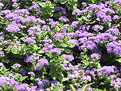 Hawaii Blue Flossflower (Ageratum 'Hawaii Blue') at Gardens To Go