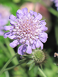 Butterfly Blue Pincushion Flower (Scabiosa 'Butterfly Blue') at Gardens To Go