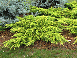 Daub's Frosted Juniper (Juniperus x media 'Daub's Frosted') at Gardens To Go