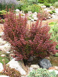 Orange Rocket Japanese Barberry (Berberis thunbergii 'Orange Rocket') at Gardens To Go