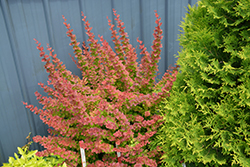 Sunjoy® Tangelo Japanese Barberry (Berberis thunbergii 'O'Byrne') at Gardens To Go