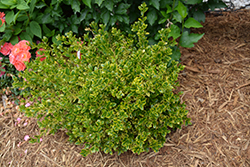 Wedding Ring® Boxwood (Buxus microphylla 'Eseles') at Gardens To Go