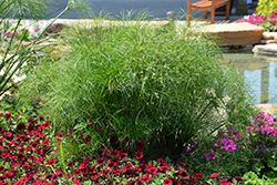 Prince Tut Egyptian Papyrus (Cyperus 'Prince Tut') at Gardens To Go