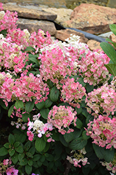 Little Quick Fire® Hydrangea (Hydrangea paniculata 'SMHPLQF') at Gardens To Go