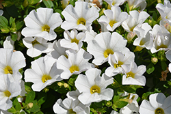 Cabaret® White Calibrachoa (Calibrachoa 'Cabaret White') at Gardens To Go