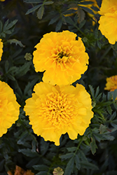 Bonanza Yellow Marigold (Tagetes patula 'Bonanza Yellow') at Gardens To Go