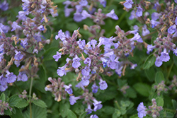 Kitten Around Catmint (Nepeta x faassenii 'Kitten Around') at Gardens To Go
