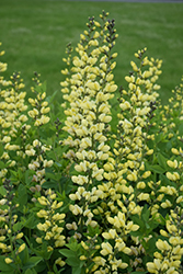 Decadence® Lemon Meringue False Indigo (Baptisia 'Lemon Meringue') at Gardens To Go