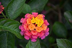 Lucky™ Sunrise Rose Lantana (Lantana camara 'Lucky Sunrise Rose') at Gardens To Go