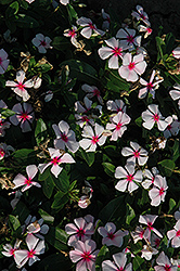 Titan™ Blush Vinca (Catharanthus roseus 'Titan Blush') at Gardens To Go