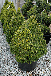 Green Mountain Boxwood (pyramid form) (Buxus 'Green Mountain (pyramid)') at Gardens To Go