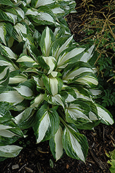 Vulcan Hosta (Hosta 'Vulcan') at Gardens To Go