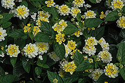 Lucky™ Lemon Glow Lantana (Lantana camara 'Lucky Lemon Glow') at Gardens To Go