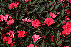 SunPatiens® Compact Deep Rose New Guinea Impatiens (Impatiens 'SunPatiens Compact Deep Rose') at Gardens To Go