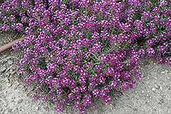 Clear Crystal Purple Shades Sweet Alyssum (Lobularia maritima 'Clear Crystal Purple Shades') at Gardens To Go