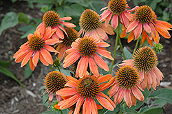 Sombrero® Adobe Orange Coneflower (Echinacea 'Balsomador') at Gardens To Go