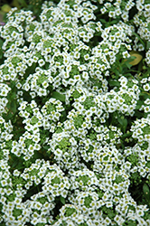 Clear Crystal White Sweet Alyssum (Lobularia maritima 'Clear Crystal White') at Gardens To Go
