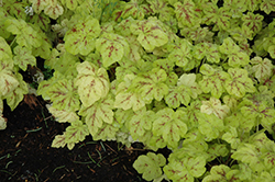 Yellowstone Falls Foamy Bells (Heucherella 'Yellowstone Falls') at Gardens To Go