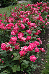 Double Knock Out® Rose (Rosa 'Radtko') at Gardens To Go