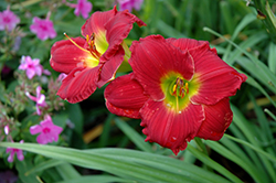 Happy Ever Appster® Red Hot Returns Daylily (Hemerocallis 'Red Hot Returns') at Gardens To Go