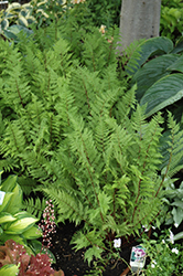 Lady in Red Fern (Athyrium filix-femina 'Lady in Red') at Gardens To Go
