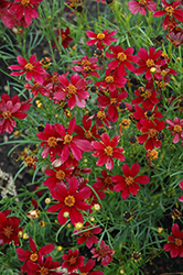 Red Satin Tickseed (Coreopsis 'Red Satin') at Gardens To Go