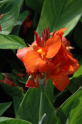 Cannova® Red Canna (Canna 'Cannova Red') at Gardens To Go