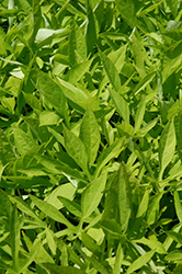 SolarPower Lime Sweet Potato Vine (Ipomoea batatas 'SolarPower Lime') at Gardens To Go