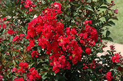 Dynamite Crapemyrtle (Lagerstroemia indica 'Whit II') at Gardens To Go