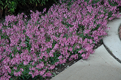 AngelMist® Spreading Pink Angelonia (Angelonia angustifolia 'AngelMist Spreading Pink') at Gardens To Go