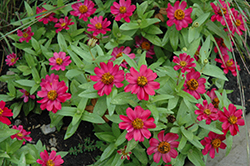 Zahara® Cherry Zinnia (Zinnia 'Zahara Cherry') at Gardens To Go