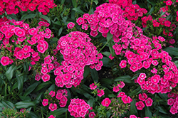 Jolt™ Pink Pinks (Dianthus 'Jolt Pink') at Gardens To Go
