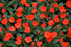 SunPatiens® Compact Orange New Guinea Impatiens (Impatiens 'SunPatiens Compact Orange') at Gardens To Go