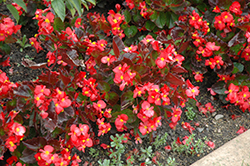 BabyWing® Red Begonia (Begonia 'BabyWing Red') at Gardens To Go