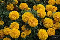 Taishan Gold Marigold (Tagetes erecta 'Taishan Gold') at Gardens To Go