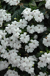 Big Bounce™ White Impatiens (Impatiens 'Balbigite') at Gardens To Go