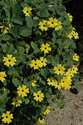 Sunny Lemon Star Black-Eyed Susan (Thunbergia alata 'Sunny Lemon Star') at Gardens To Go