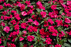 Bounce™ Cherry Impatiens (Impatiens 'Balboucher') at Gardens To Go