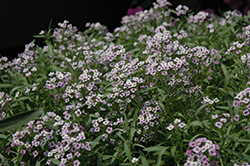 Lavender Stream Sweet Alyssum (Lobularia maritima 'Lavender Stream') at Gardens To Go
