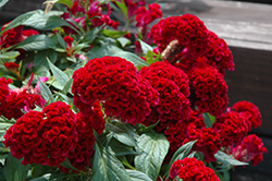 Twisted Celosia (Celosia cristata 'Twisted') at Gardens To Go