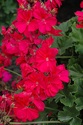 Calliope® Hot Pink Geranium (Pelargonium 'Calliope Hot Pink') at Gardens To Go