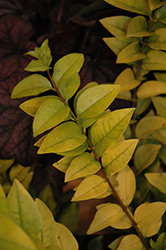 Golden Ticket® Privet (Ligustrum x vicaryi 'NCLX1') at Gardens To Go