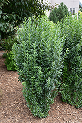 Straight Talk™ Common Privet (Ligustrum vulgare 'Swift') at Gardens To Go