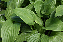 Humpback Whale Hosta (Hosta 'Humpback Whale') at Gardens To Go