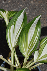 Cool As A Cucumber Hosta (Hosta 'Cool As A Cucumber') at Gardens To Go