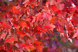 Autumn Radiance Red Maple (Acer rubrum 'Autumn Radiance') at Gardens To Go